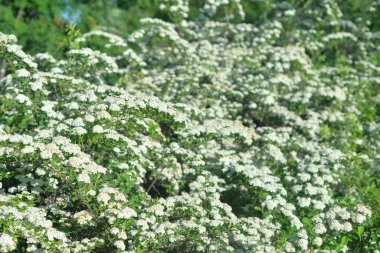 Blooming Spiraea with white flowers at spring day.