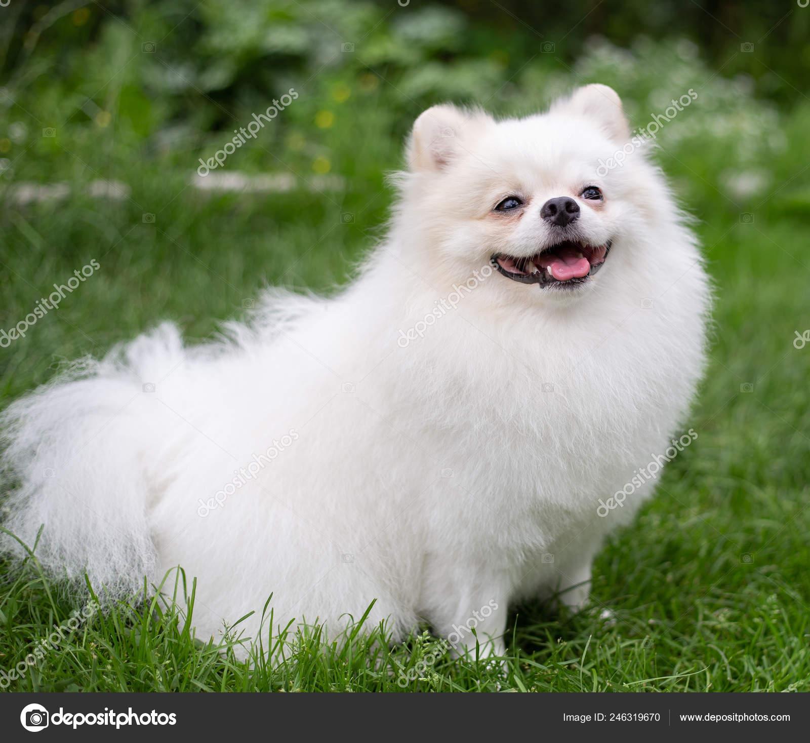 Beautiful White Dog Pomeranian Spitz Pomeranian Puppy Dog Cute Pet Happy Smile Playing In Nature Stock Photo C Stori 246319670