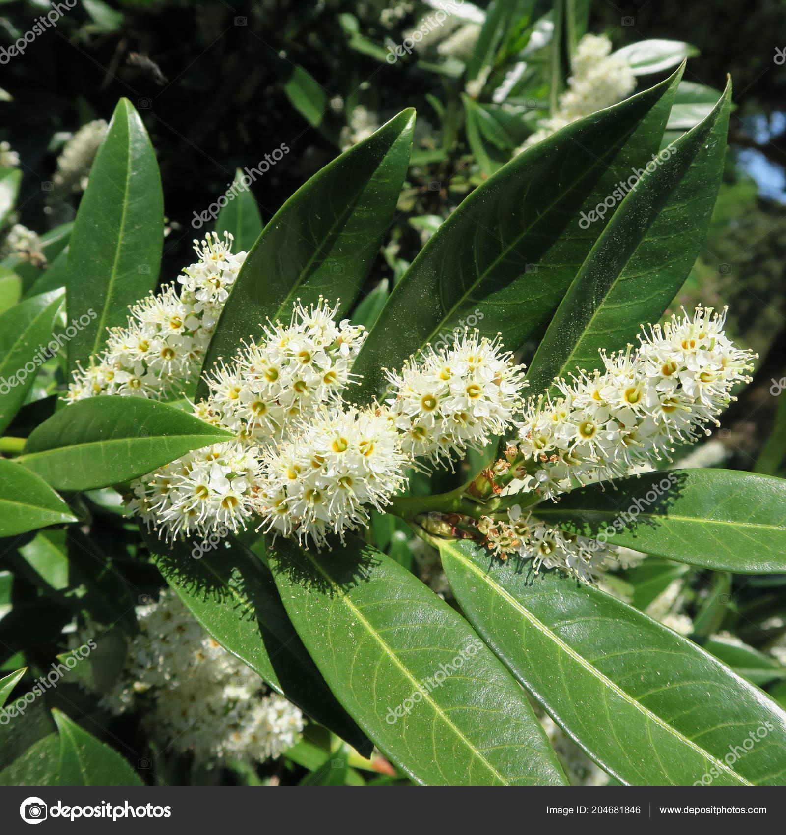 Prunus Laurocerasus Cherry Laurel Green Shrub White Flowers Spring
