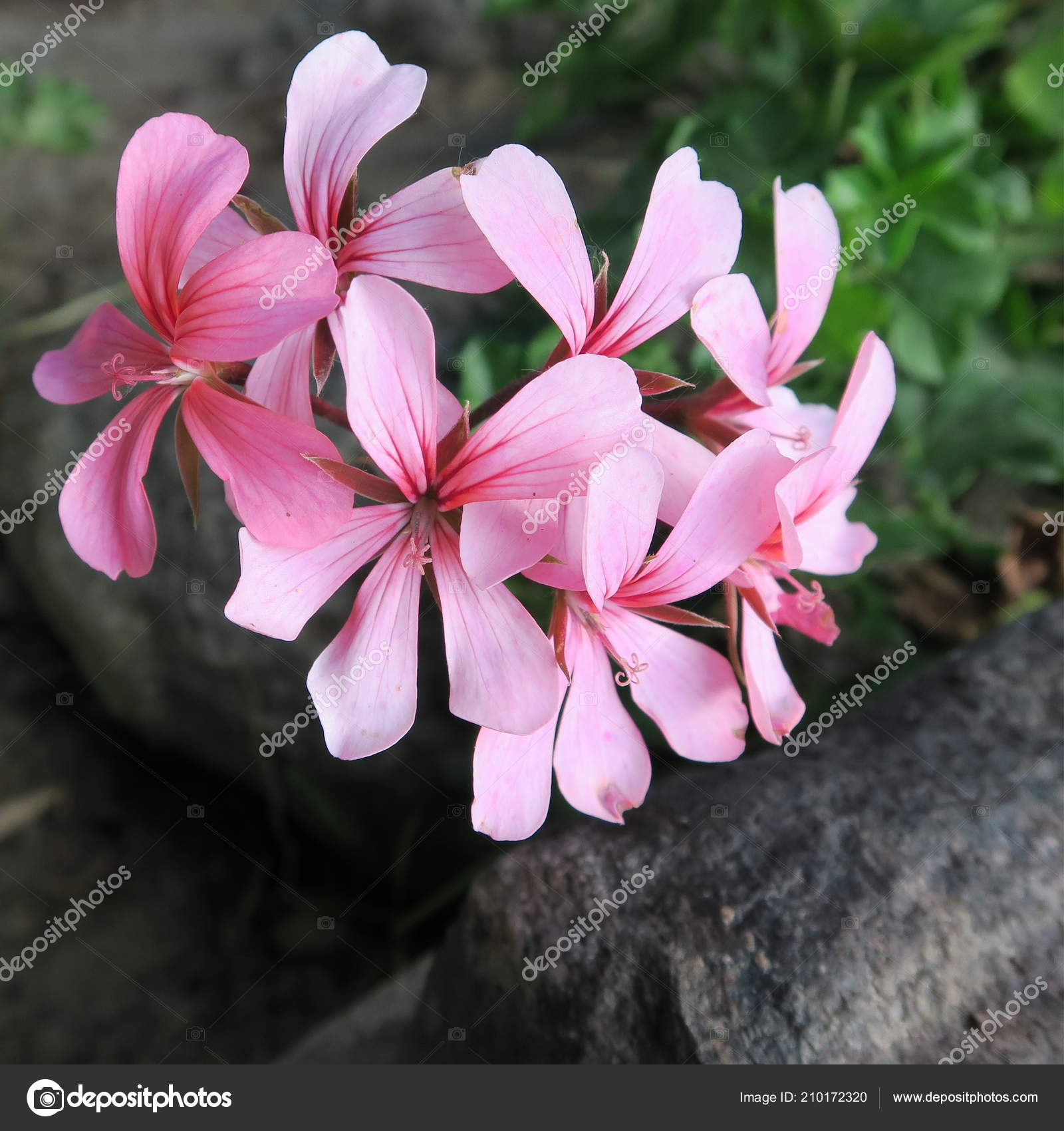 Geraniums Colored Geraniums Beautiful Flowers Garden Stock Photo