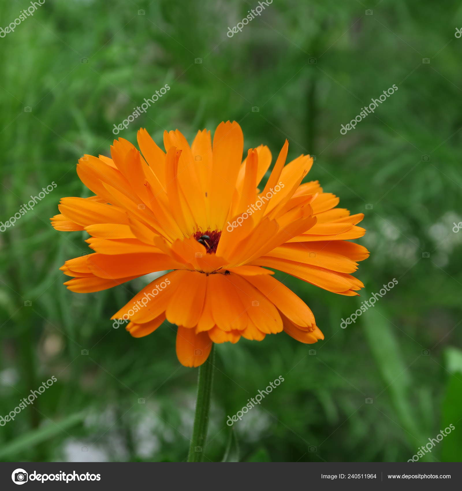 b472096ac Closeup View Beautiful Calendula Flower — Stock Photo © piep600 ...