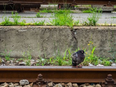 Lonely pigeon standing on train rail