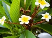 Four white plumeria flowers in bloom