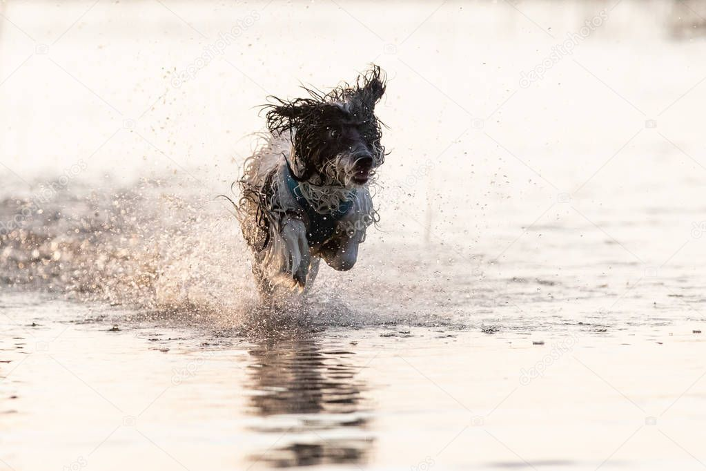 A little black and white furry dog running around in shallow waters during a summer afternoon. Tartu, Estonia.