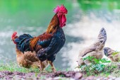 Photo Rooster and chickens on a free range poultry farm