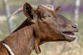 Photo Details of a brown goat on the meadow