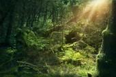 Photo Mossy wood in Ireland