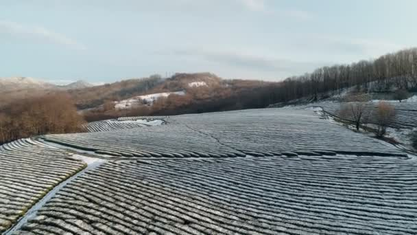 Aerial drone view. winter, snow covered tea plantation on the hills. Amazing striped smooth lines. Flyover glade. Frozen white landscape.