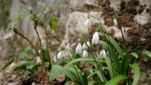 Swaying snowdrops close-up. The first flowers in the mountains. Rocks and rocks in the moss in the background. White Galanthus
