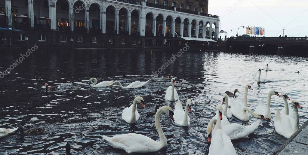 beautiful swans in lake water near old building