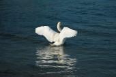 Fotografie Labuť na klidné jezero v Dánsku Skandinávie