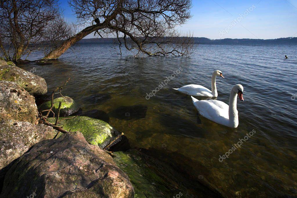 Swans swimming on a lake in Denmark Scandinavia