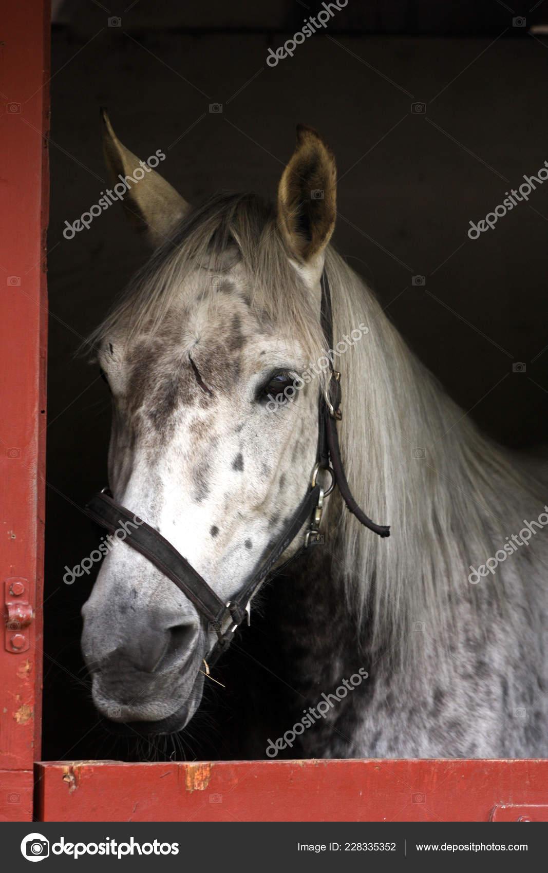 White Horse Head Close Stock Photo C Jeancliclac 228335352