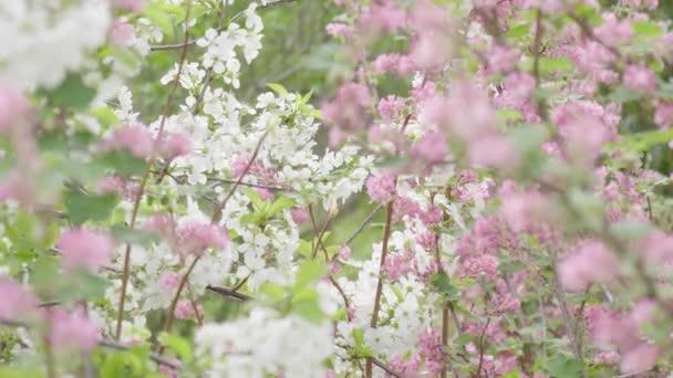 blühender Baum bei Frühling Zeitlupe fallendes Blatt Hintergrund