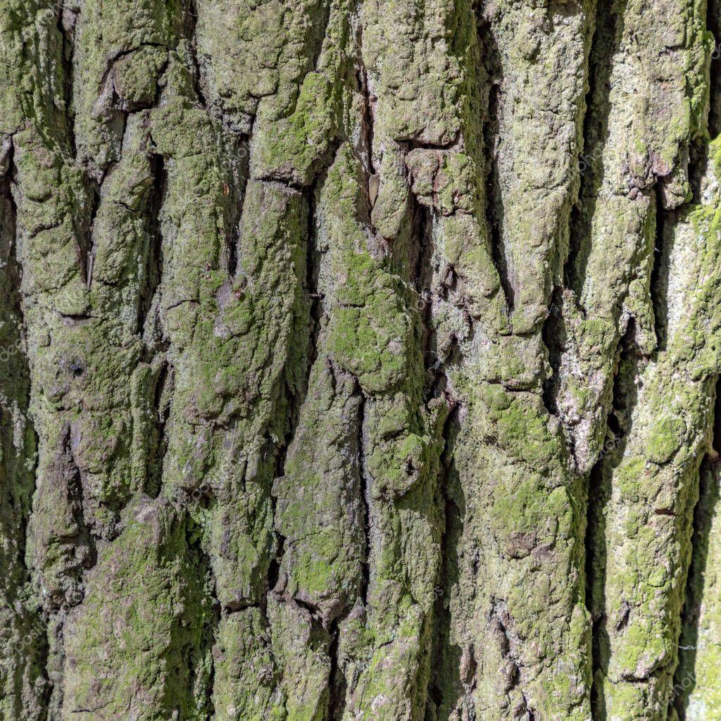 detail of oak tree bark gives a harmonic background