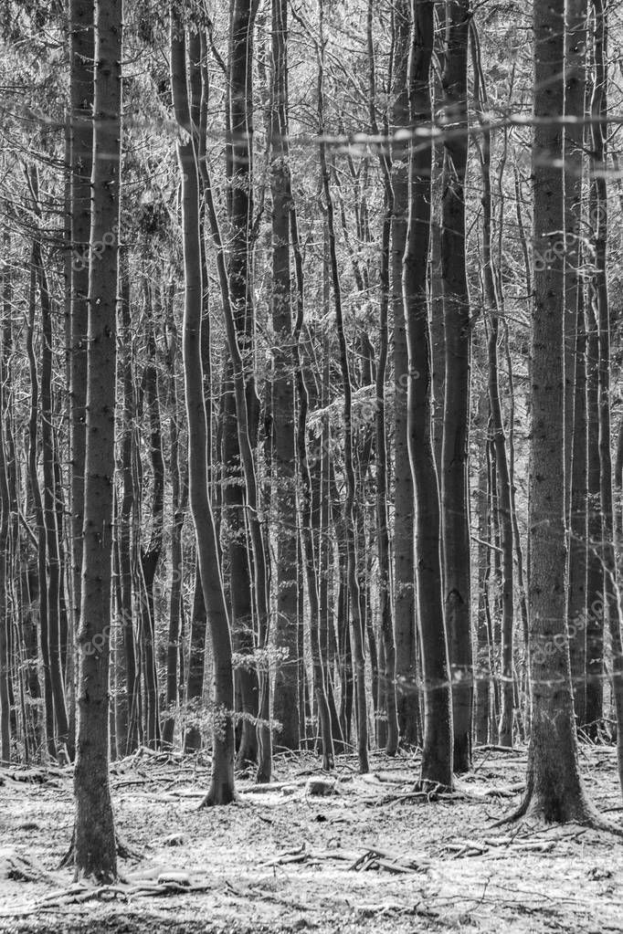 background of harmonic trees in wintertime in the forest