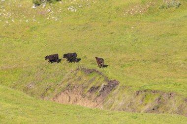 "Картина, постер, плакат, фотообои ""коровы пасутся на свежем холмистом лугу возле сан-симеона. "", артикул 266347274"