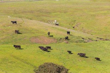 "Картина, постер, плакат, фотообои ""коровы пасутся на свежем холмистом лугу возле сан-симеона. "", артикул 266347280"
