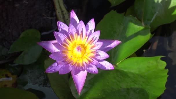 Lotosový závod a květiny v Bangkoku, Thajsko