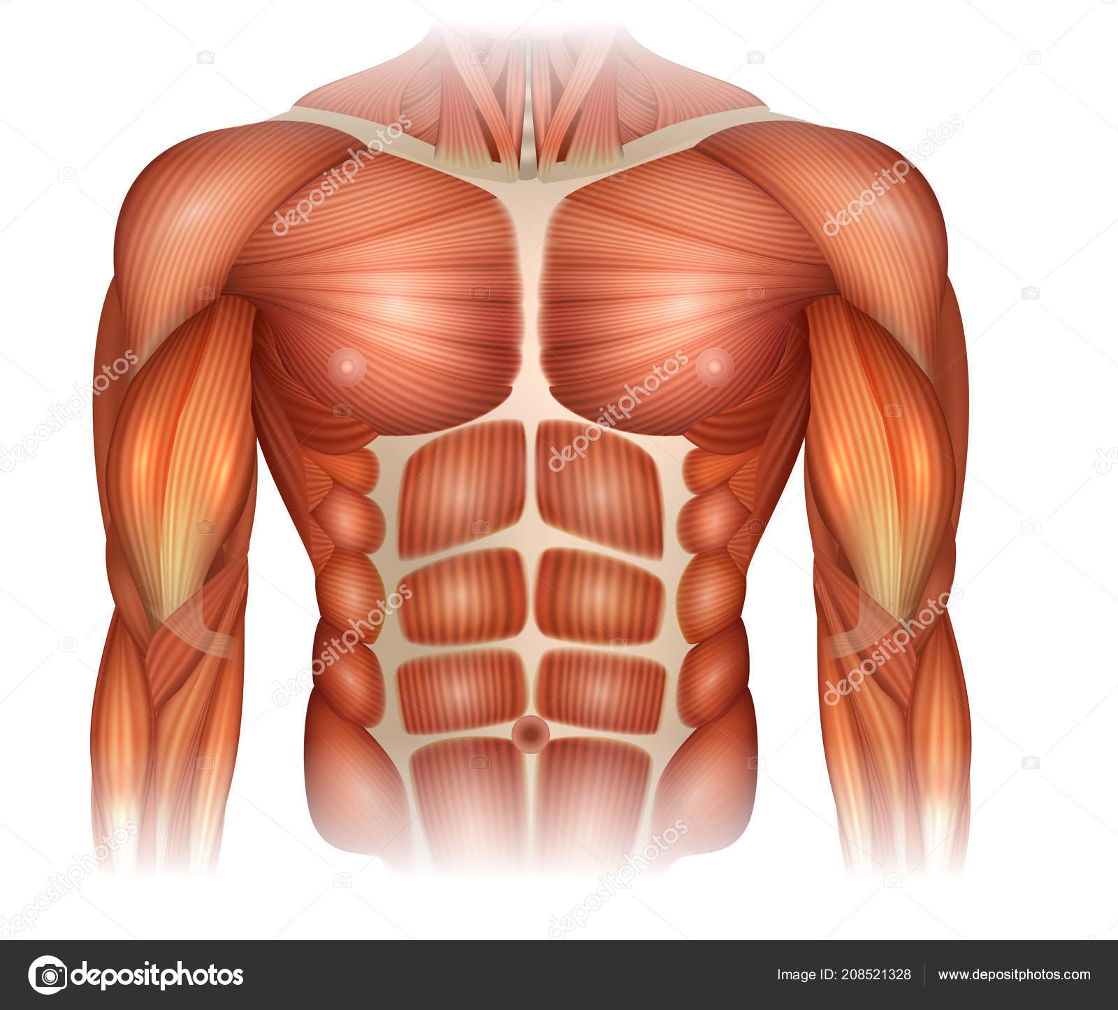 Muscles Human Body Torso Arms Beautiful Colorful Illustration