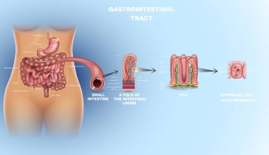 Gastrointestinal tract anatomy. Intestinal villi, small intestine lining, epithelial cells with microvilli detailed illustration.