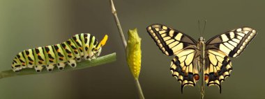 panoramic view of transformation of common machaon butterfly emerging from cocoon on blurred background