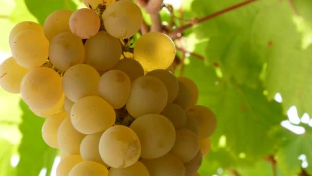 Bunch of fresh rape grapes on bunch