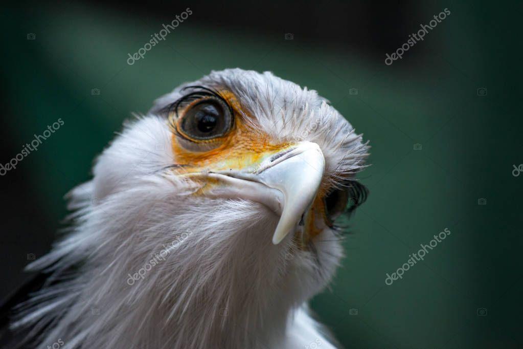 Bird secretary with huge eyelashes. Sagittarius serpentarius. Close Up Portrait