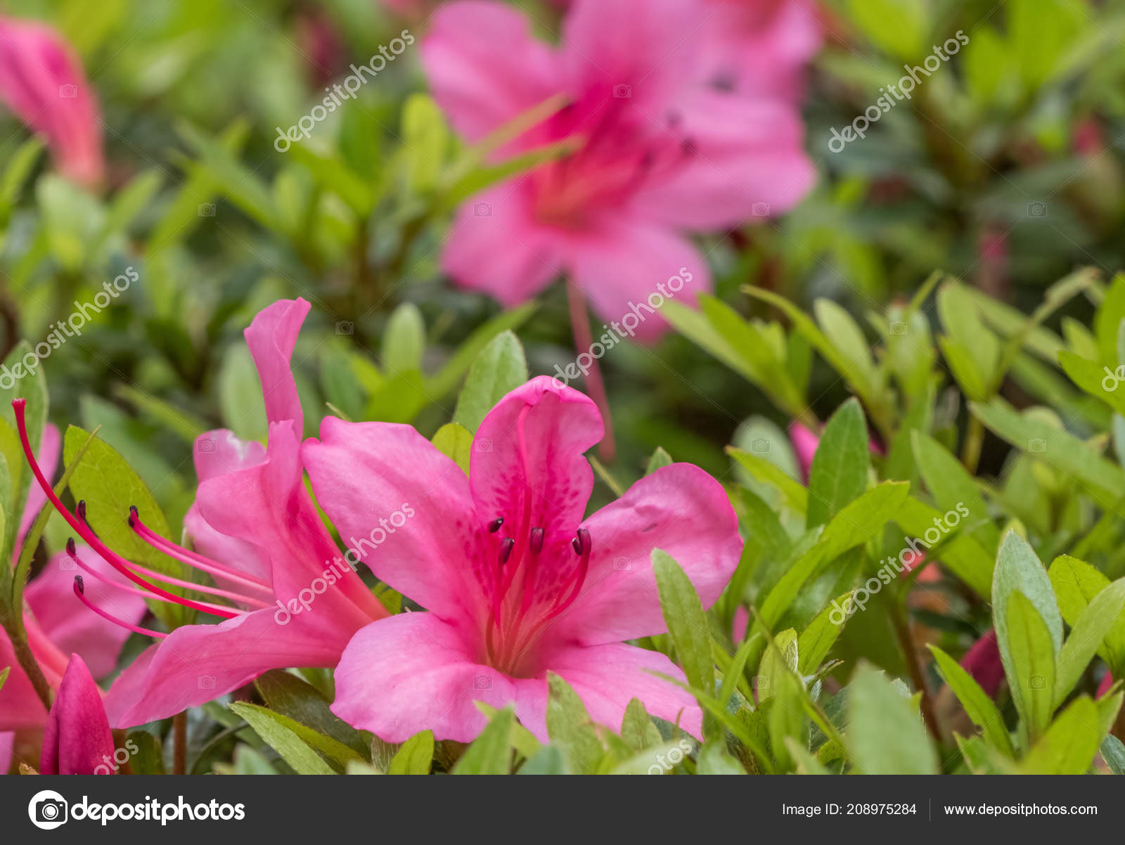 Beautiful Pink Flowers Growing Garden Stock Photo Akulamatiau