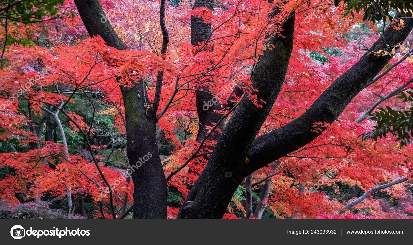 Japanese Red Maple Tree Leaves Tokyo Garden Autumn Stock Photo C Akulamatiau 243033932