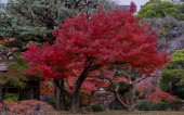 Photo Japanese Red Maple tree and leaves at a Tokyo Garden in autumn