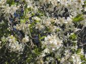 bílé jarní květiny na stromě proti obloze