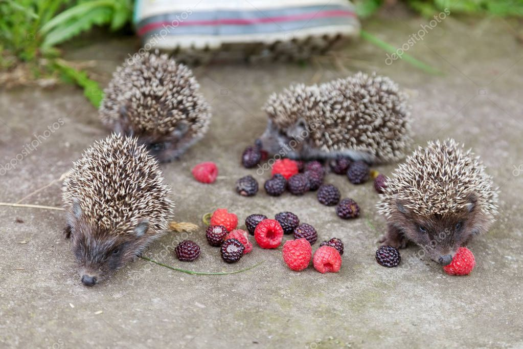 Photo of young hedgehogs near of scattered raspberry closeup