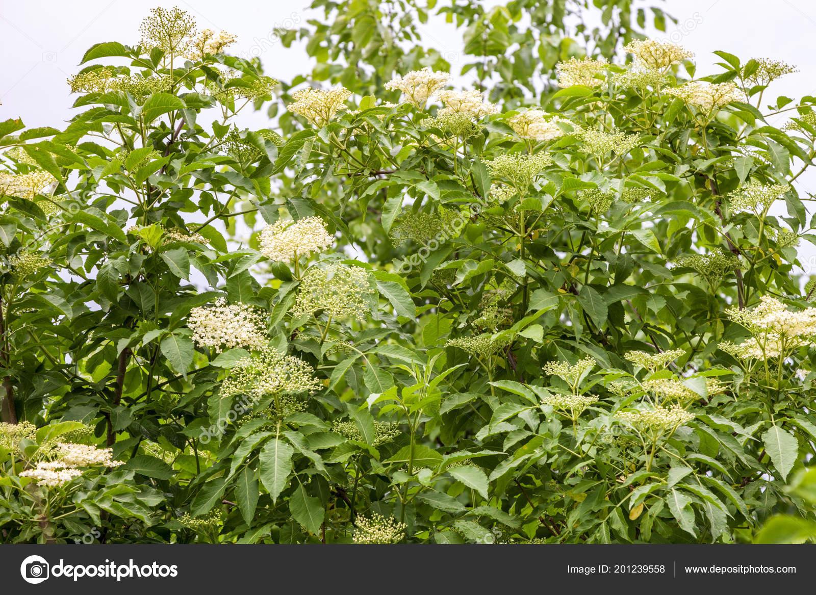 Close elderberry white flowers bush spring time stock photo close elderberry white flowers bush spring time stock photo mightylinksfo