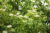 Zblízka bezinky bílých květů na keři v jarním období