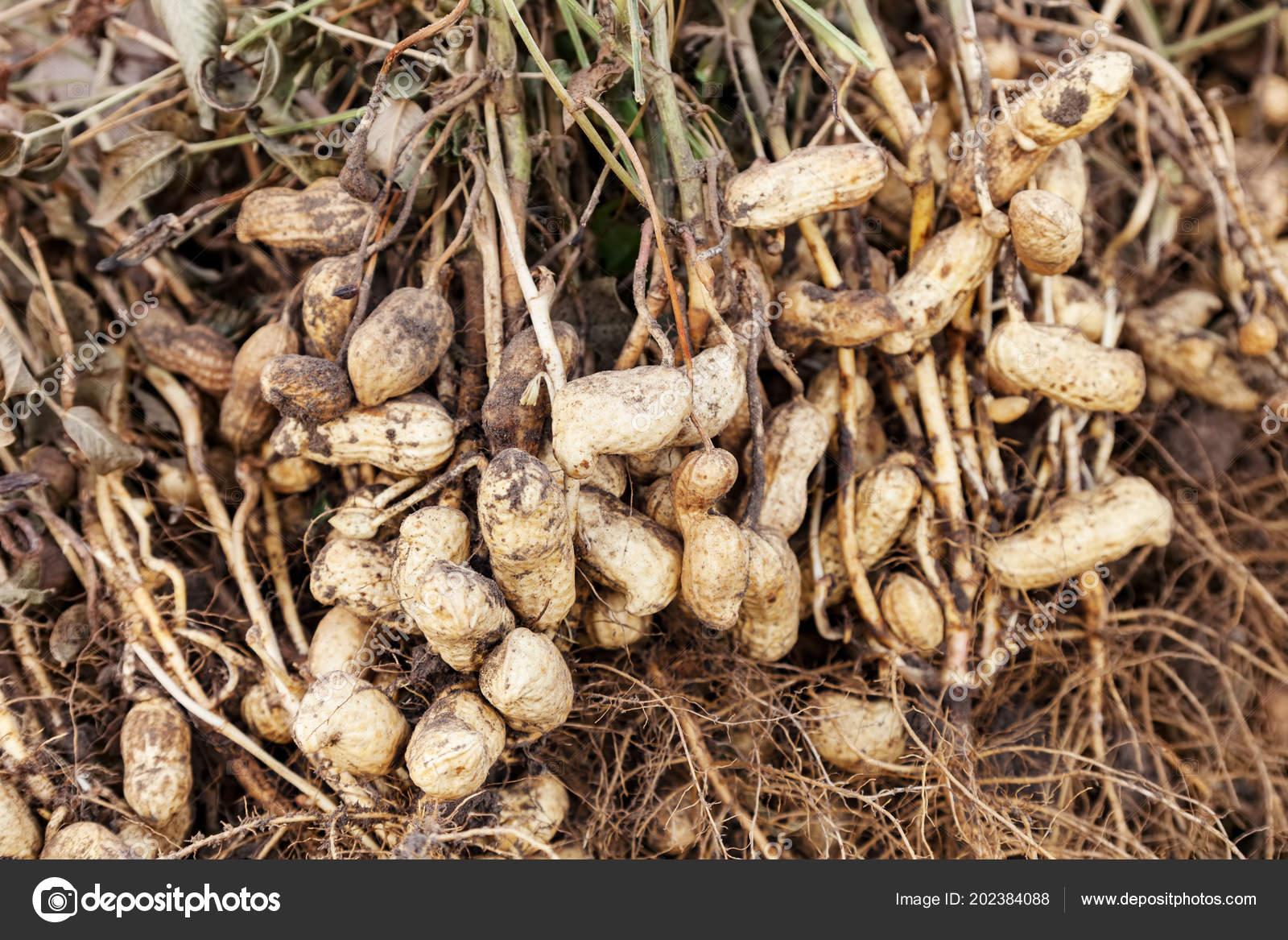 erdnusspflanzen