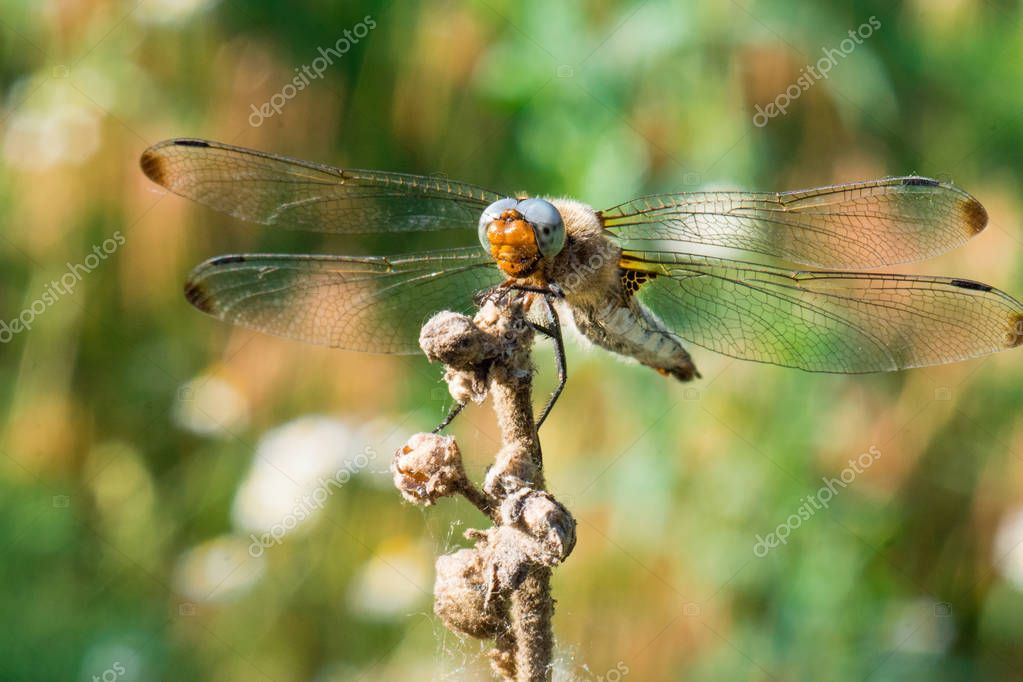 dragonfly close-up, large dragonfly on branch