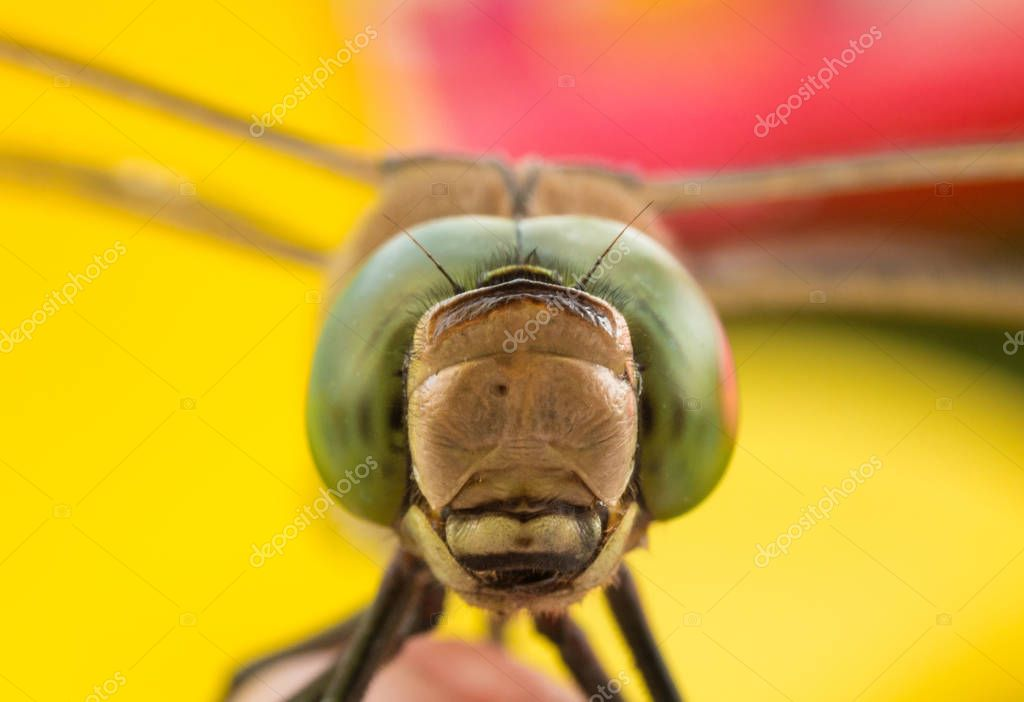 dragonfly close-up, macro photo, large dragonfly on a flower