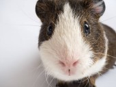 Close up view of cute guinea pig