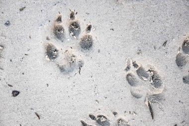 footprints of a dog on sand, close up view