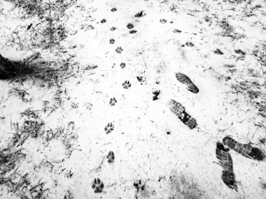 footprints of a wolf in the snow, dog prints