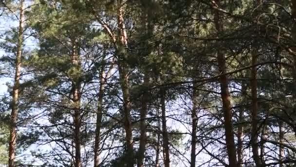reggel a mély erdőben. vadon élő természet. tavaszi fenyveserdő.