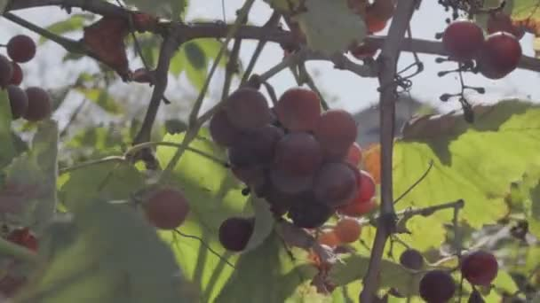 bunches of grapes on the vine. ripe grape berries. neutral color profile