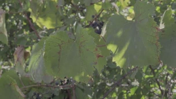 zelených vinných listů. neutrální barevný profil