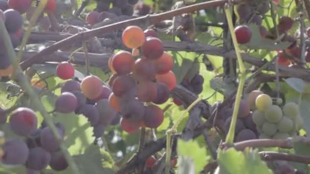 ze svazků vinných hroznů na vinné révy. zralých vinných bobulí. neutrální barevný profil