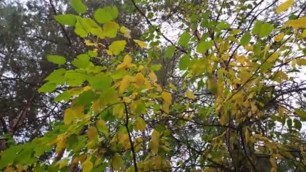yellow autumn leaves. trees in the fall.
