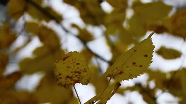 podzimní listí na stromě. poslední barevné podzimní listí. suché listy.