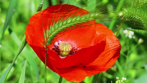 beautiful red poppies. poppies in the wind