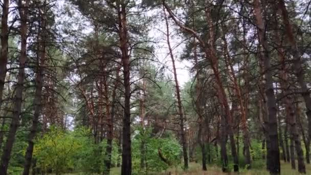 pine forest in cloudy weather. in the autumn forest
