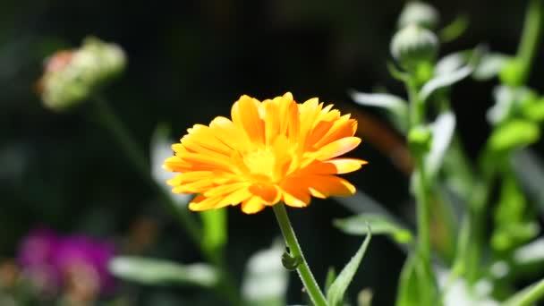 květina z kalendáře. krásná oranžová květina. žlutá letní květina